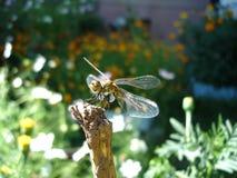 蜻蜓夏天背景 库存照片