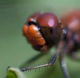 蜻蜓宏指令的头 免版税图库摄影
