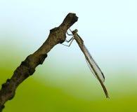 蜻蜓宏指令 免版税库存照片