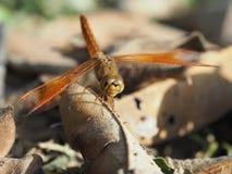 蜻蜓宏观焦点迷离背景 免版税库存图片