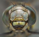 蜻蜓宏观顶头射击正面图 免版税库存照片