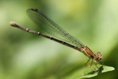 蜻蜓布朗 免版税库存图片