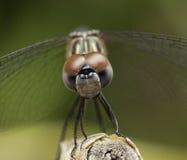 蜻蜓接近在米黄枝杈 库存照片