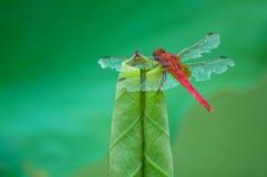蜻蜓支持叶片nelumbinis 库存图片
