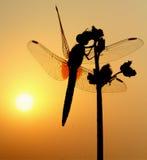 蜻蜓早晨太阳 免版税库存照片
