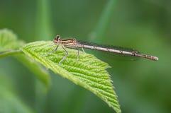 蜻蜓有腿的白色 图库摄影