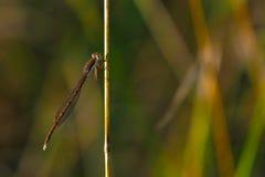 蜻蜓本质上 库存图片