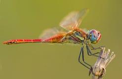 蜻蜓枝杈 图库摄影