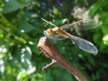 蜻蜓枝杈 免版税库存照片