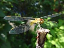蜻蜓枝杈 免版税图库摄影