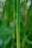 蜻蜓求爱舞蹈  库存图片