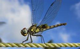 蜻蜓特写镜头 免版税库存照片