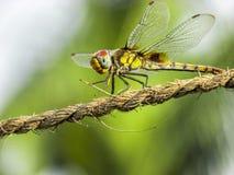 蜻蜓特写镜头 库存照片