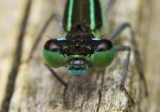 蜻蜓的宏指令 库存照片