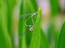 蜻蜓的联接 免版税库存照片