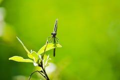 蜻蜓的视域坐叶子 免版税图库摄影