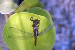 蜻蜓目命令的蜻蜓昆虫 免版税库存照片