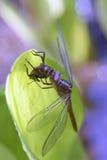 蜻蜓目命令的蜻蜓昆虫 图库摄影