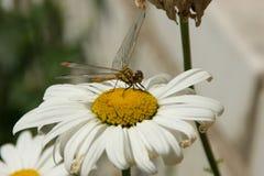 蜻蜓目(蜻蜓) 免版税库存照片