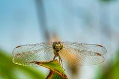 蜻蜓眼睛焦点 库存照片