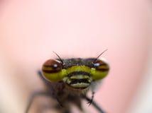 蜻蜓眼睛 库存照片