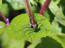 蜻蜓美丽的闺女calopteryx处女座 免版税库存图片