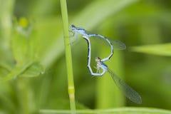 蜻蜓联接 库存图片