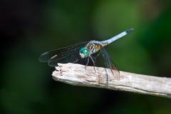 蜻蜓蓝色Dasher 免版税库存照片