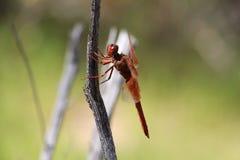 蜻蜓面孔 免版税库存照片