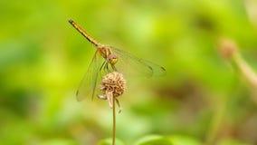 蜻蜓飞行  影视素材