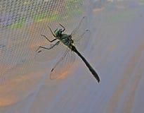 蜻蜓-特写镜头 免版税图库摄影