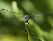 蜻蜓绿色叶子 库存图片