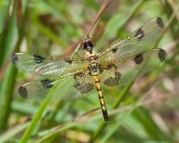 蜻蜓以黄色和黑色 库存图片