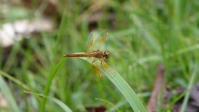 蜻蜓 影视素材