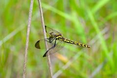 蜻蜓32 免版税库存图片
