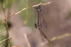蜻蜓 免版税库存照片