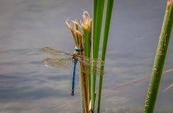蜻蜓 库存图片