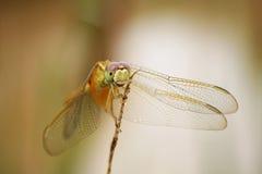 蜻蜓- Orchithemis Pulcherrima 免版税库存图片