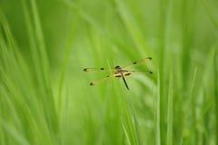 蜻蜓(Rhyothemis phyllis)本质上 库存照片