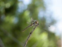 蜻蜓(Sympetrum cancellatum) 6 免版税库存图片