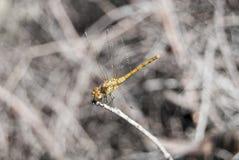 蜻蜓(Sympetrum cancellatum) 11 免版税库存照片