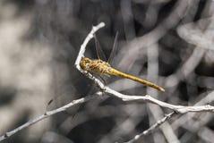 蜻蜓(Sympetrum cancellatum) 13 免版税库存照片