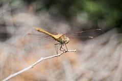 蜻蜓(Sympetrum cancellatum) 15 免版税图库摄影