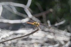 蜻蜓(Sympetrum cancellatum) 17 库存照片