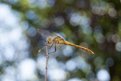 蜻蜓(Sympetrum cancellatum) 5 库存照片