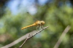 蜻蜓(Sympetrum cancellatum) 14 免版税库存照片