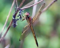 蜻蜓needham s漏杓 库存图片