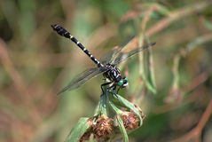 蜻蜓Onychogomphus forcipatus外形 库存照片