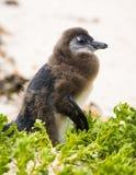蜕变的企鹅小鸡 免版税库存照片
