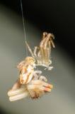 蜕变的螃蟹蜘蛛 免版税库存照片